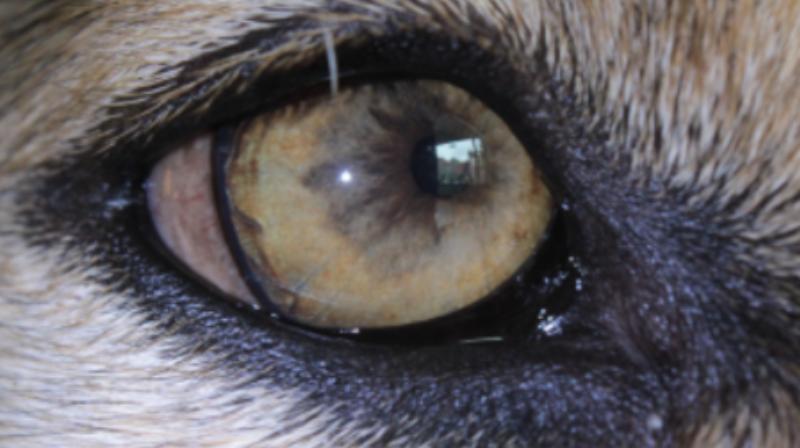 Iriscopie voor dieren opleiding: Hoofdstuk 7 irispigment