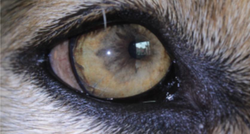 Iriscopie voor dieren opleiding: Hoofdstuk 7 irispigment 1