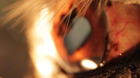 Iriscopie voor paarden opleiding: Hoofdstuk 11 scleralogie 1