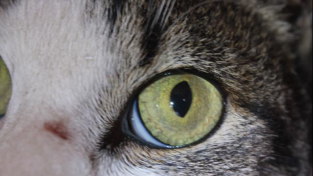Iriscopie voor dieren opleiding: Hoofdstuk 6 pupilvormen 1