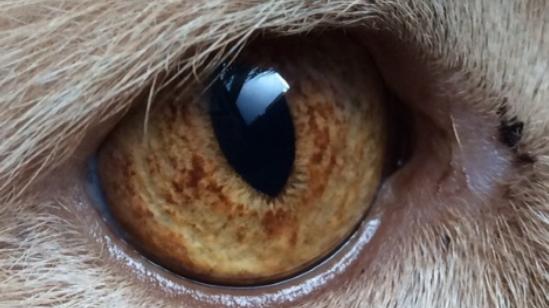 Iriscopie voor dieren opleiding: Hoofdstuk 9 krause en krauserand