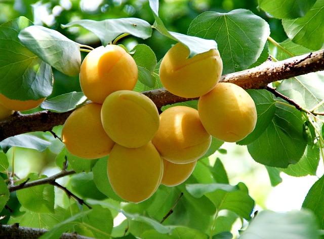 apricot-871493_640 pixabay free