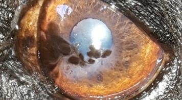 Iriscopie voor dieren opleiding: Hoofdstuk 2 anatomie van het oog
