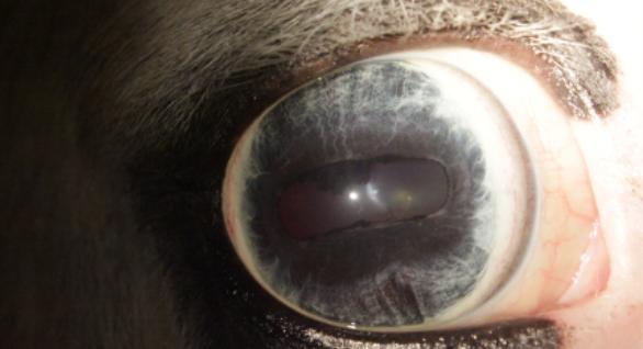 Iriscopie voor dieren opleiding: Hoofdstuk 3 constitutie