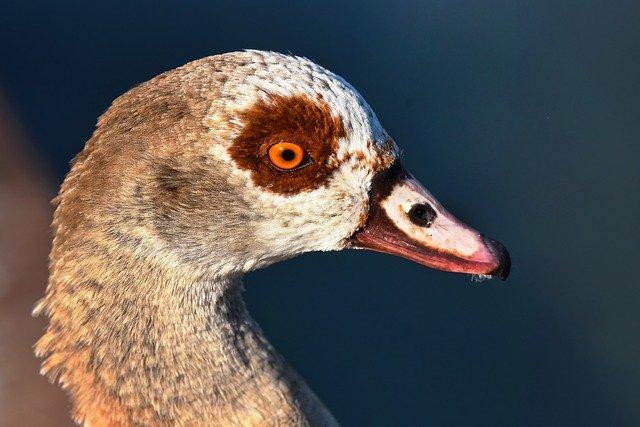 nile-goose-3538831_640